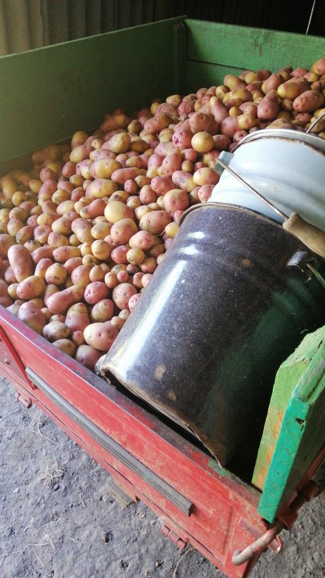 Дрібна картопля