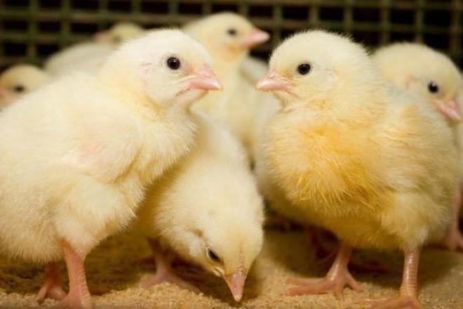 инкубационное яйцо бройлера КОББ-500, РОСС-308, РОСС-708