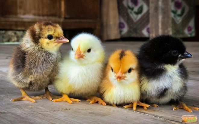 Инкубационное яйцо курей несушек и мясо-яичного направления