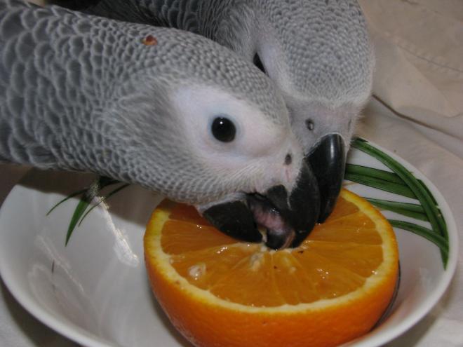 Жако выкормыш