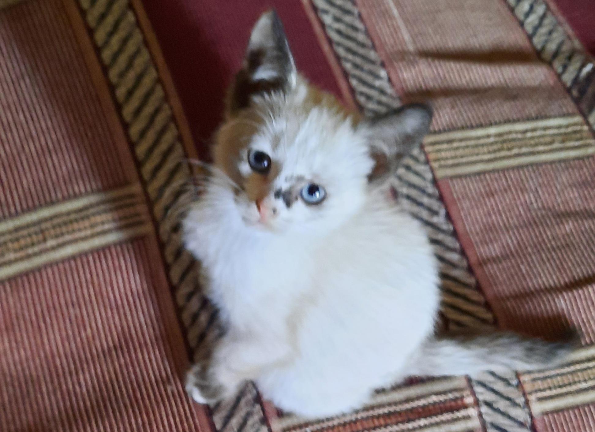 Тайский котёнок, 2 месяца, девочка