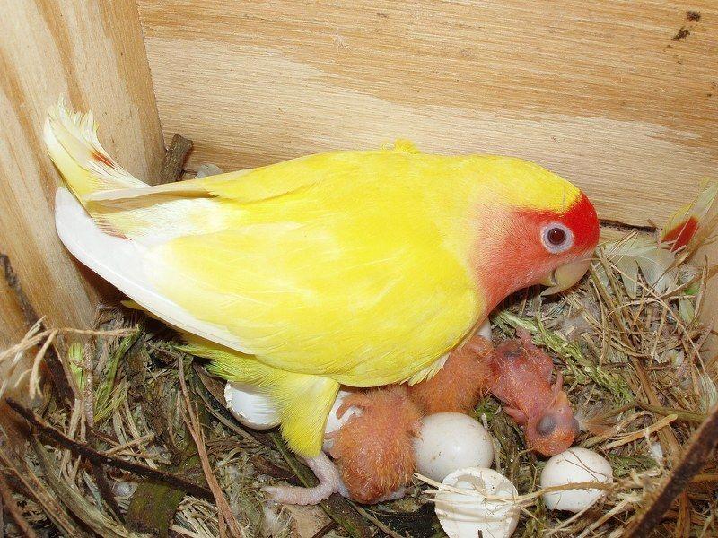 Гнездовой домик для неразлучников.