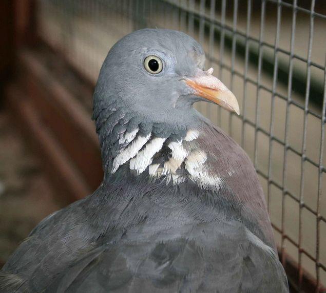 Клетка для голубей.